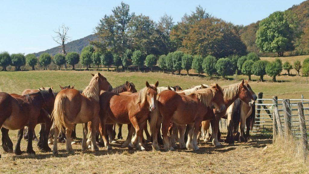 Yeguada en los prados de Roncesvalles